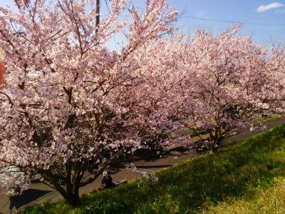 2015桜 (1).jpg